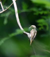 キビタキ メス 若鳥 - モクもく写真館