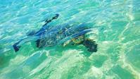 ホヌ(ウミガメ)と一緒に泳いできました - Nature Care