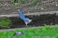 オナガ水浴び - 気ままな生き物撮り