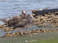 大原漁港のウミネコ幼鳥 - コーヒー党の野鳥と自然 パート2