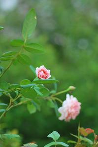8/8 ぽつぽつ夏のバラと蟻怖い - 「あなたに似た花。」