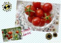 ミニトマト - Flores*Flores