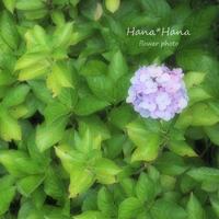 *紫陽花* - HANA*HANA