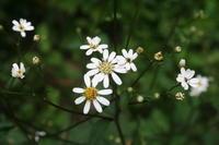 秋の花、咲き初め - 宮迫の! ようこそヤマボウシの森へ