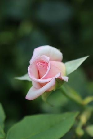 8月のお手入れのポイント - 元木はるみのバラとハーブのある暮らし・Salon de Roses