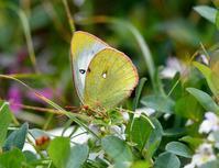 高山蝶を求めて  ミヤマモンキチョウ - 旅のかほり