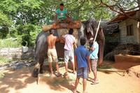 スリランカの、ここは見ておきたい(その16)(象の背中はユラユラ、イテテ~) - 旅プラスの日記