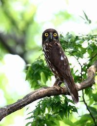 在りし日のアオバズクいろいろ(その5) - 一期一会の野鳥たち