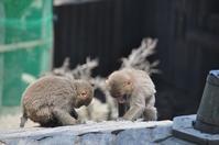 淡路島モンキーパークの子ザルたち♪ - a&kashの時間。