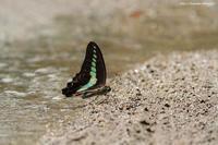 里山の蝶たち - 虫籠物語