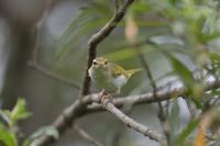 センダイムシクイ幼鳥 - やぁやぁ。