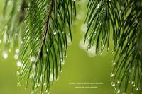 雫 *高山植物園は雨上がり* - 静かな時間