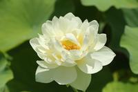 ウェディングドレスのような蓮の花♪ - happy-cafe*vol.2