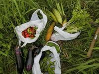 夏野菜の収穫 - 素人百姓日記(有機無農薬野菜作りの記録)