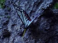 在来のゴマダラチョウに害を及ぼす外来の蝶 アカボシゴマダラ - 花と葉っぱ