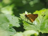 スジグロチャバネセセリ - 風の翅
