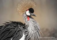 ホオジロカンムリヅル:Grey crowned crane - 動物園の住人たち写真展
