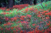 キツネノカミソリ - 比企丘陵の自然