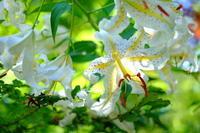 暑い日に箱根湿生花園へ - ルンコたんとワタシの心模様