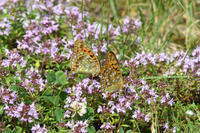 信州日帰りの旅その3 ギンイチモンジセセリ(2017/07/08) - Sky Palace -butterfly garden- II