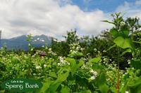 そば畑が満開になってきました♬ - 乗鞍高原カフェ&バー スプリングバンクの日記②