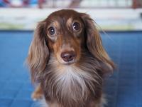 17年8月10日 あんず2歳のお誕生日♪ - 旅行犬 さくら 桃子 あんず 日記