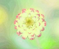 ヒャクニチソウ - 光 塗人 の デジタル フォト グラフィック アート (DIGITAL PHOTOGRAPHIC ARTWORKS)