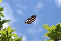 オオミスジの成虫、卵、そして幼虫(長野県、20170806) - Butterfly & Dragonfly