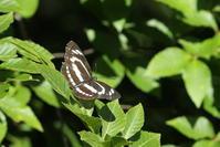 初夏の東京の蝶たち(東京都八王子市、20170603) - Butterfly & Dragonfly