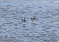アオアシシギ 潮で隠れた干潟で - 野鳥の素顔 <野鳥と・・・他、日々の出来事>