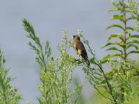 夷隅川河口のカワラヒワ - コーヒー党の野鳥と自然 パート2
