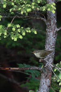 メボソムシクイ 再び - 野鳥公園