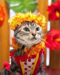 フラガールになったにゃ! - 愛しき猫にゃん♪