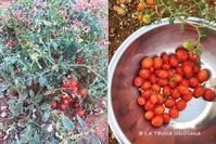 我が家の菜園日記 no.21 全くダメダメだった今年の夏野菜 - La Tavola Siciliana  ~美味しい&幸せなシチリアの食卓~