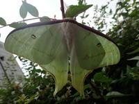 オオミズアオ Actias aliena ♂ - 写ればおっけー。コンデジで虫写真