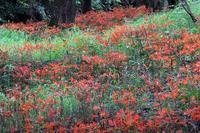 再度キツネノカミソリ - 比企丘陵の自然