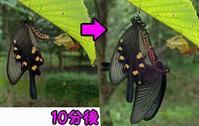 ジャコウアゲハの交尾 - 秩父の蝶