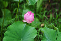 蓮、玉紫陽花など - 生きる。撮る。
