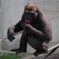ナイトズーだってさシャバーニさん 東山動物園2017/8/6 - ヒトのたぐい ゴリラと愉快な仲間たち