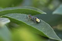 キバラヘリカメムシ など - 野山の住認たちⅡ