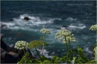 エゾノシシウド咲く海岸 - muku3のフォトスケッチ