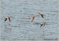 ソリハシシギとキアシシギの飛翔 - 野鳥の素顔 <野鳥と・・・他、日々の出来事>