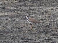 海辺のチドリとミズナギドリ - コーヒー党の野鳥と自然 パート2