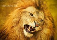 ライオン:Lion - 動物園の住人たち写真展