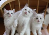 1回目ワクチン終了@子猫たち♪ - らぐ・らいふ Sweetlapisラグドール日記