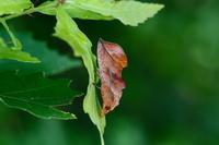 アカエグリバ - Insect walk