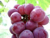 圃場の異変 - 葡萄と田舎時間