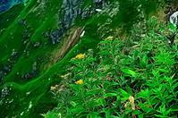 谷川岳 崖の上の花々 - 風の香に誘われて 風景のふぉと缶