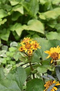 裏庭のリグラリア - 小さな庭 2