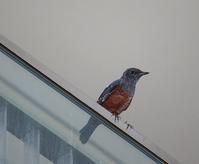 今日の鳥さん 170811 - 万願寺通信